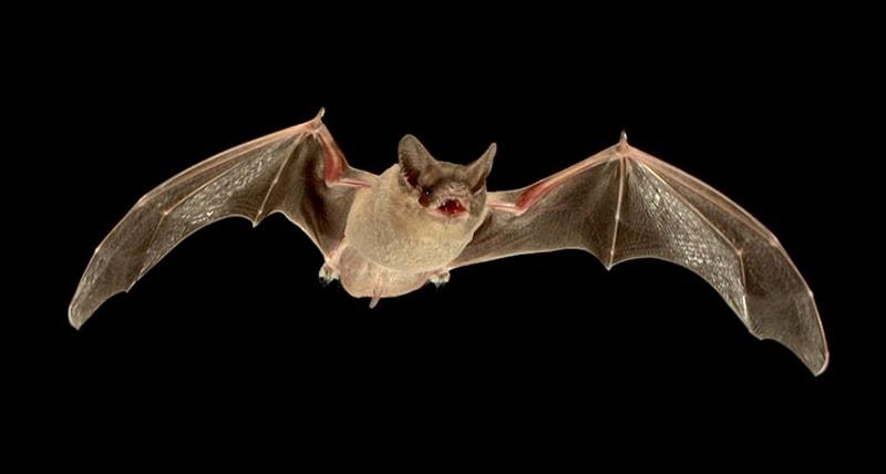 bats-teeth