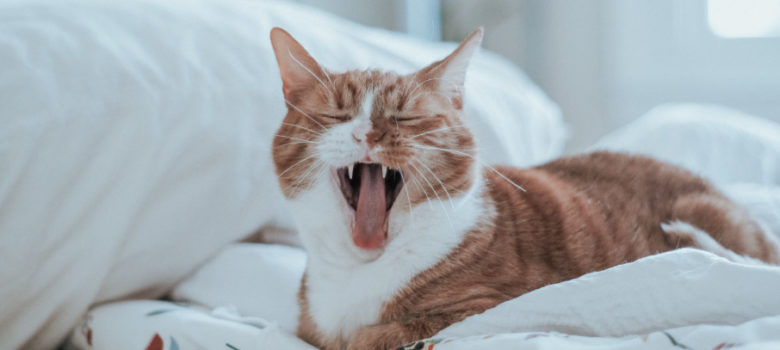 Orange and white cat yawns while curled up on the white sheets of a bed